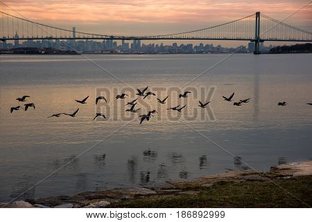 Geese flying with Bronx-Whitestone Bridge and Manhattan in the background - New York City