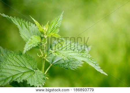 Green stinging nettle (urtica dioica), used in alternative medicine