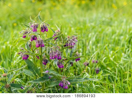Purple budding flowering and overblown blooms of a common comfrey or Symphytum officinale plant between grass and other wild plants in a Dutch nature area.