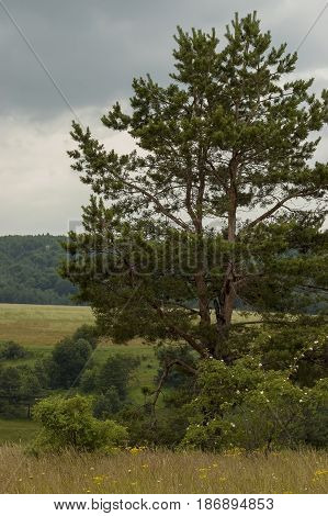 Majestic spring pine-tree, fresh glade with different grass and blossom  wildflower, Plana mountain, Bulgaria