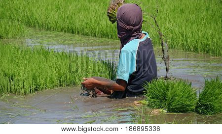 Ricefield worker pulling out a rice stalk  A ricefield worker pulls out a rice stalk from the muddy paddy to prepare for planting.
