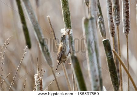 Marsh Wren gathering cattail down at Vancouver BC Canada