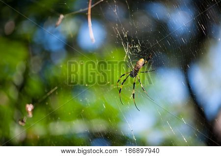 Golden orb weaver spider on its web