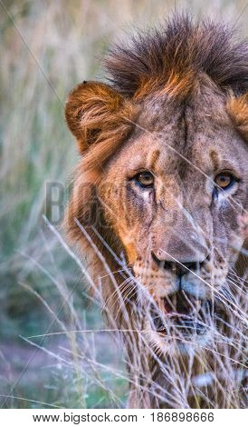 South African lion staring at the viewer from behind tall grass