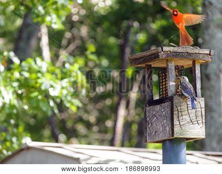 Blue And Red Bird At Springtime Bird Feeder
