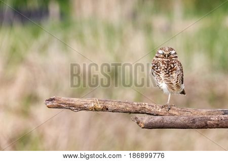 Burrowing Owl at Vancouver BC Canada Apr. 2017