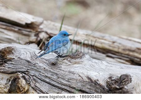 Male mountain bluebird at Vancouver BC Canada