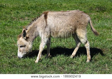 Little donkey eating grass on green meadow.