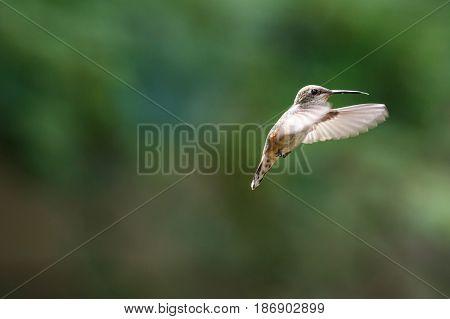 flying rufous hummingbird at Richmond BC Canada