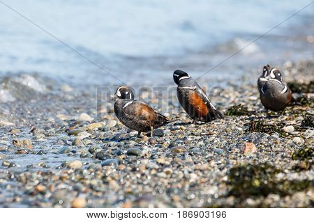Harlequin Duck (Histrionicus hitrionicus) male swimming Point Roberts Washington USA
