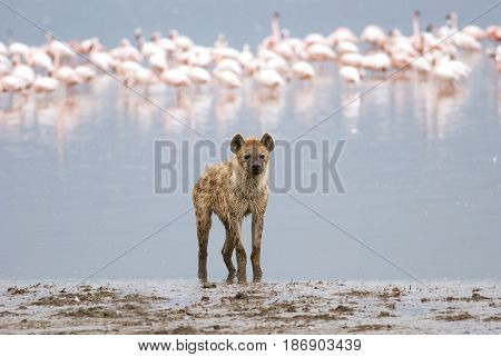 hyena standing on the shore of the lake on a background of a flock of flamingos Kenya