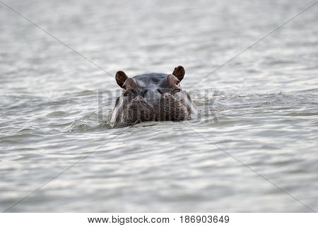 head of a hippo sticking out of the water Kenya
