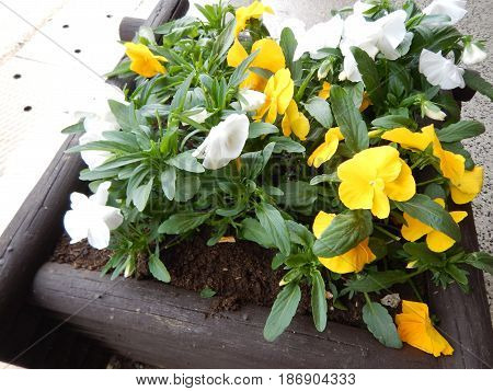 Decorative Pot With Yellow Flowers In Blossom
