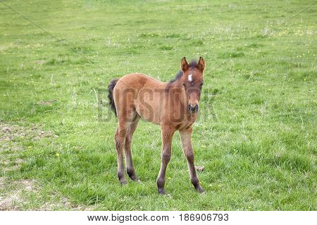 young colt on the green grass background