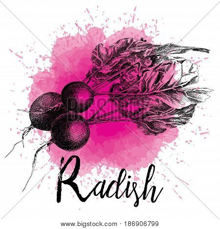 Vector illustration of a radish in hand-drawn graphics. The vegetable is depicted on a violet watercolor background. Design for packaging