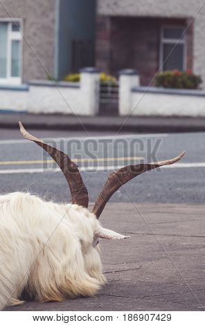 Small white furry goat with big horns resting its head on the street in a small irish town Sneem, Ireland
