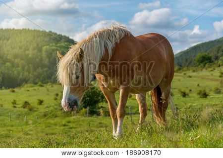 Beautiful red horse grazing in a meadow in spring