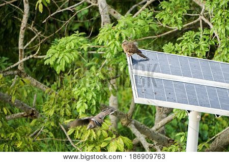 Bird Spotted Dove or Spilopelia chinensis on the street lamp powered by solar power.