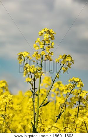Colourful field of rapeseed. Yellow field rape in bloom with blue sky and white clouds. Closeup of rape seed flower in field of rape crop