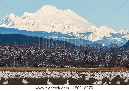 Snow Geese on annual migration to Skagit Valley, WA.  Mount Baker in background.
