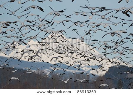 Snow Geese on annual migration to Skagit Valley, WA