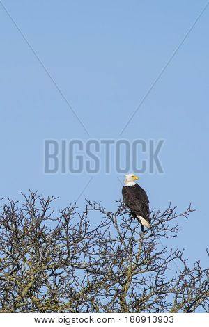 Bald Eagle roosting in tree along Nooksack River WA