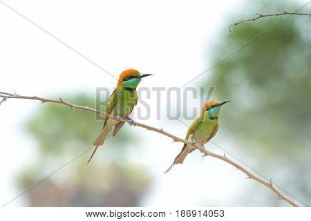 Green Bee-eater. Little green bee-eater. Merops orientalis. Bird.