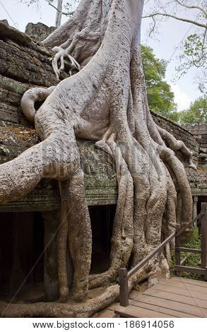Overgrown Spung tree in Ta Prohm Temple Cambodia.