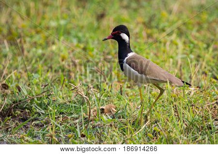 Image of red-wattled lapwing bird (Vanellus indicus) on green grass field.