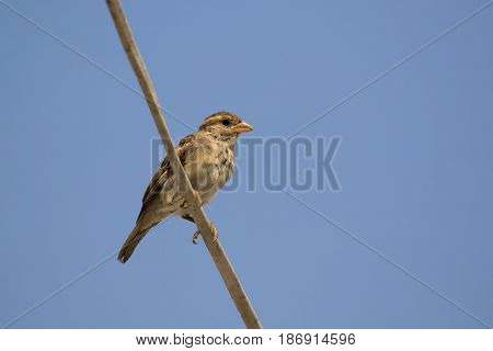 Image of sparrow on sky background. Bird