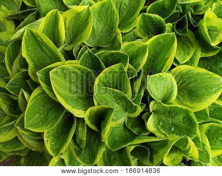 close up of a green Hosta plant.