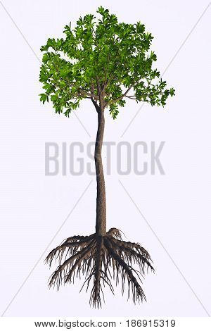 Glossopteris sp Tree 3d illustration - Glossopteris was a seed plant tree that lived in the Permian to the Triassic Periods.