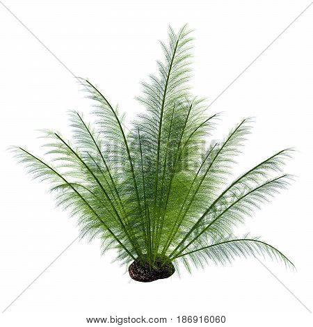 Onychiopsis Seed Plant 3d illustration - Onychiopsis was a Cretaceous fern with fine feathery fronds and lived on forest edges lake and river borders and humid plains.