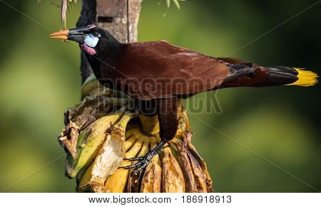 Montezuma Oropendola perched and eating bananas in Costa Rica