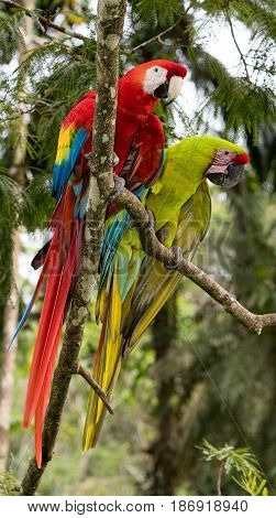 Scarlet and Great Green Macaw perched together on a tree branch