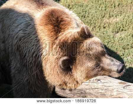 A grizzly bear resting on log in the sunshine.