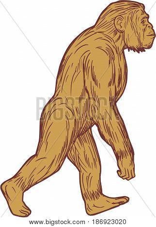 Drawing sketch style illustration of Homo habilis a species of the tribe Hominini during the Gelasian and early Calabrian stages of the Pleistocene period walking viewed from the side set on isolated white background.