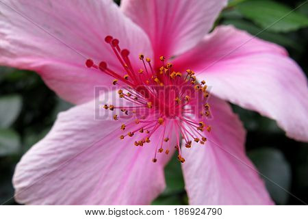 Hibiscus Mallow Malvaceae subtropical and showy pale pink flower in bloom