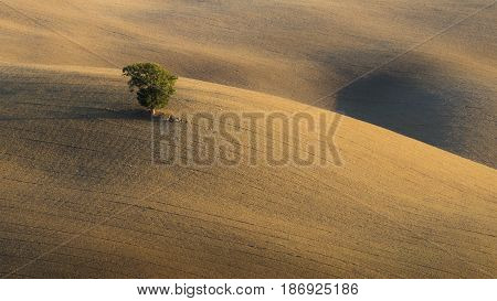 A green fluffy tree in the middle of velvet freshly plowed Tuscan hills