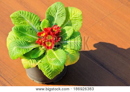 Red primula acaulis in flowerpot on table