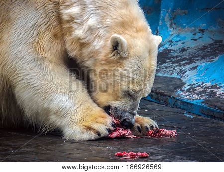 White Big Bear In Zoo Eating Meat