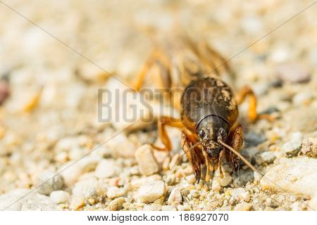 Macro of fen cricket on stones in sunny day