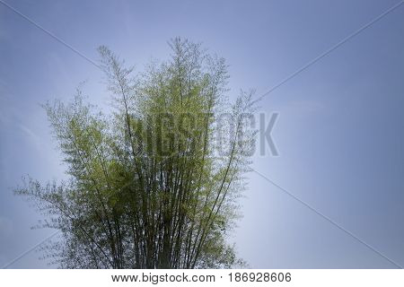 Bamboo Tree On Blue Sky stock photo