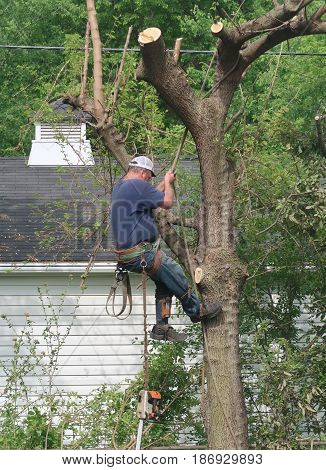 In the process of removing a tree the tree expert adjusts his rope as he moves to another level.