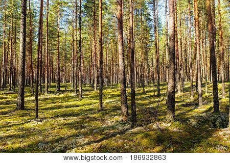 Landscape in a pine forest in early autumn