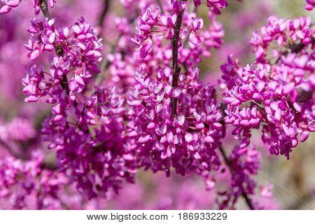 Flowering Cercis Siliquastrum