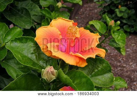 Hibiscus Mallow Malvaceae subtropical and showy flower in bloom close-up stamen orange pink yellow