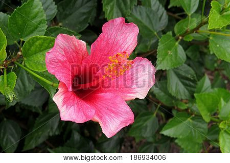 Hibiscus Mallow Malvaceae subtropical and showy pink flower in bloom close-up stamen