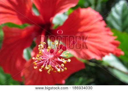 Hibiscus Mallow Malvaceae subtropical and showy red flower in bloom close-up stamen
