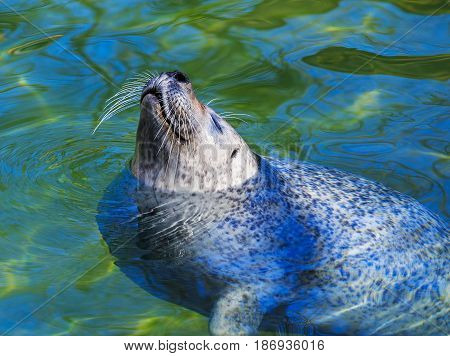 Baby seal swimming in water, selective focus on the head.
